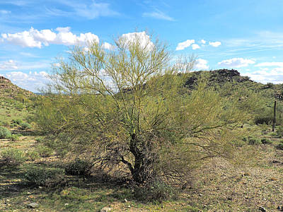 Photograph - Palo Verde by C H Apperson