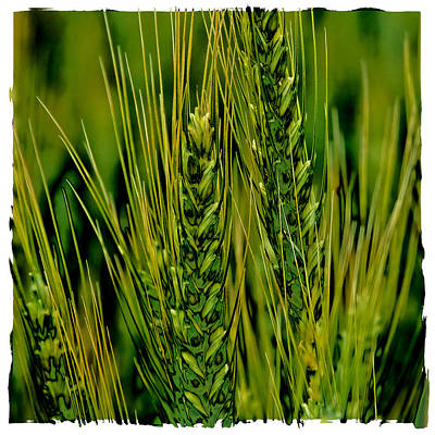 Surrealism Royalty-Free and Rights-Managed Images - Palouse Wheat IV by David Patterson