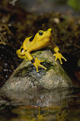 Bufonidae Photograph - Panamanian Golden Frog by San Diego Zoo