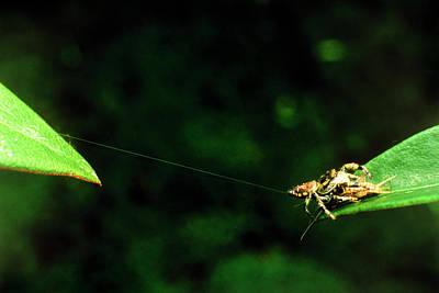 Panamanian Jumping Spider Eris Aurantia Art Print by Martin Dohrn/science Photo Library