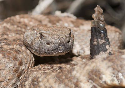 Photograph - Panamint Rattlesnake by Dan Suzio