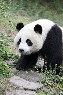 Wild Animals Photograph - Panda by King Wu