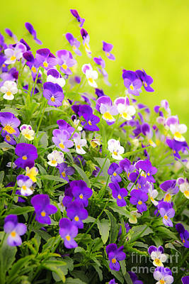 Pansies Art Print by Elena Elisseeva