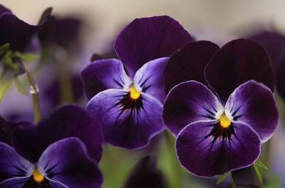 Pansies (viola Cornuta Sorbet Xp Delft Blue) Art Print