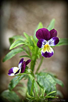 Photograph - Pansy by Michaela Preston