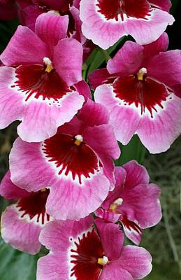 Photograph - Pansy Orchid 1 by Allen Beatty