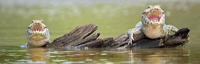 Focus On Foreground Photograph - Pantanal Caiman, Pantanal Wetlands by Panoramic Images