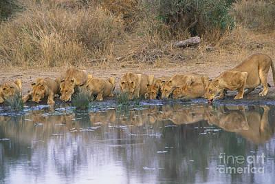 Panthera Leo Art Print by Art Wolfe