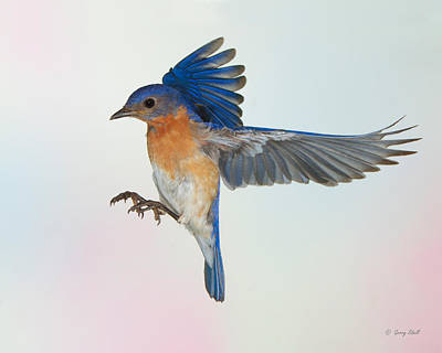 Photograph - Papa Bluebird by Gerry Sibell