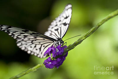 Idea Leuconoe Photograph - Paper Kite Butterfly by Brandon Alms