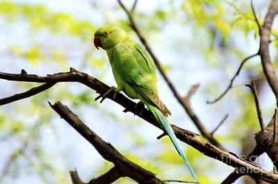Parakeet Digital Art - Parakeet In The Wild by Pravine Chester