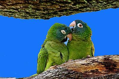 Parakeet Pair Art Print