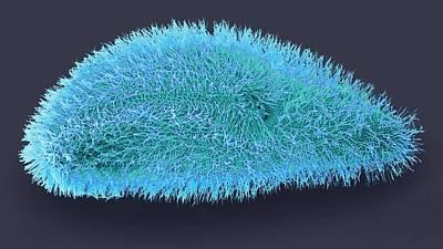 Paramecium Protozoan Art Print by Steve Gschmeissner