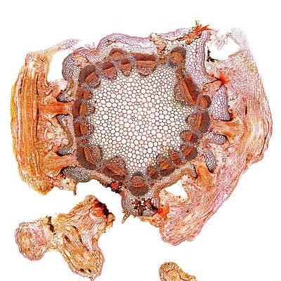 Parasitic Plant Stem Art Print by Dr Keith Wheeler