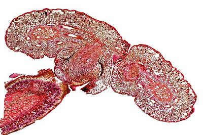 Parasitic Vine Stem Art Print by Dr Keith Wheeler