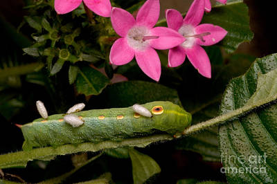 Photograph - Parasitized Sphinx Moth Caterpillar by Gregory G. Dimijian, M.D.