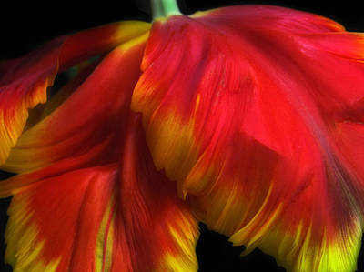 Photograph - Parrot Petals by Jessica Jenney