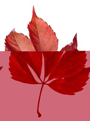 Parthenocissus Quinquefolia Leaf Art Print