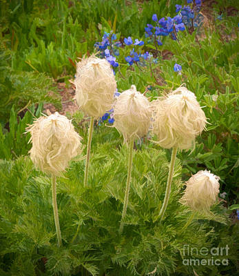 Photograph - Pasqueflower Seedhead by Sharon Seaward