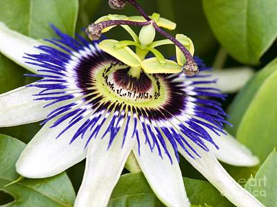 Passion Flower Passiflora Caerulea Art Print by Adrian Bicker