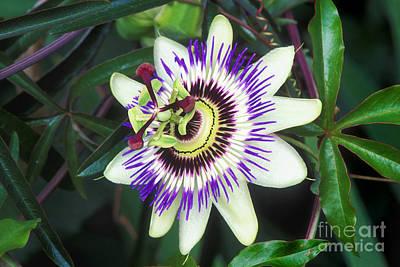 Passion Flower Passiflora Sp Art Print by Kaj R. Svensson