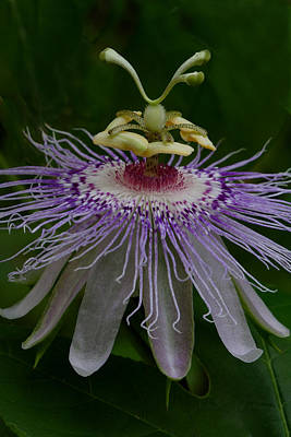 Photograph - Passionflower by Daniel Reed