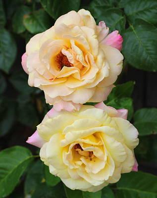 Peace Roses Art Print