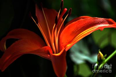 Photograph - Peach Lily by Phillip Garcia