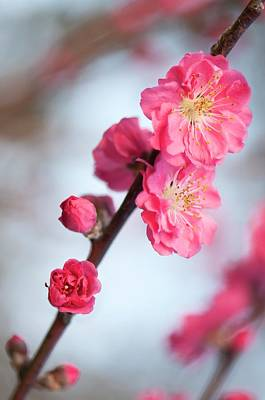 Peach (prunus Persica 'red Baron') Art Print by Maria Mosolova