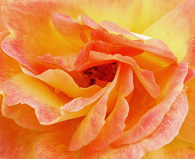 Photograph - Peach Rose by Allen Beatty