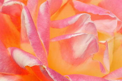 Peachy Pink Rose Art Print by Virginia Forbes
