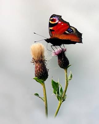 Photograph - Peacock Butterfly by Gavin Macrae
