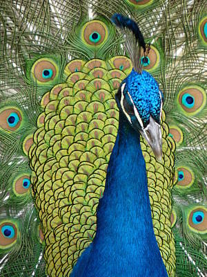 Photograph - Peacock Head by Jeff Lowe