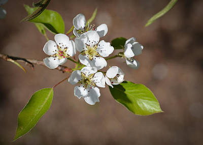 Photograph - Pear Blossoms 2 by Ronda Broatch