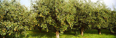 Pear Tree Photograph - Pear Trees In An Orchard, Hood River by Panoramic Images