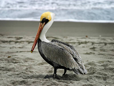 Photograph - Pelican by Anthony Jones