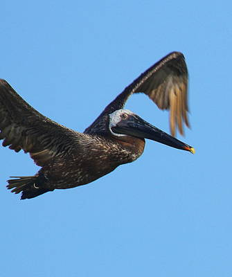 Genus Photograph - Pelican In Flight by Cathy Lindsey
