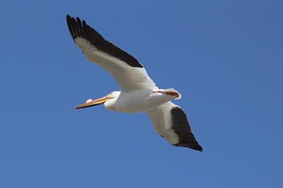 Photograph - Pelican by Trent Mallett