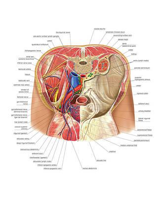 Pelvis Art Print by Asklepios Medical Atlas