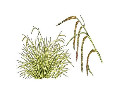 Pendulous Sedge (carex Pendula) Art Print by Science Photo Library