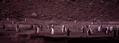 Penguins Make Their Way To The Colony Art Print by Panoramic Images