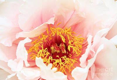 Photograph - Peony Flower by Charline Xia