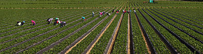 People Picking Strawberries In A Field Art Print by Panoramic Images