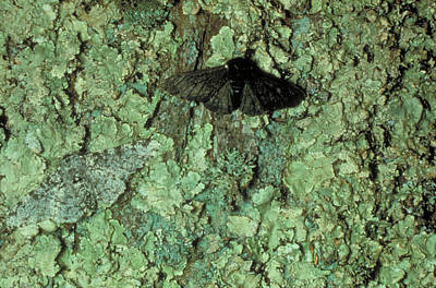 Peppered Moths Art Print