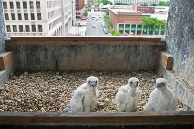 Three Chicks Photograph - Peregrine Falcon Chick by Jim West