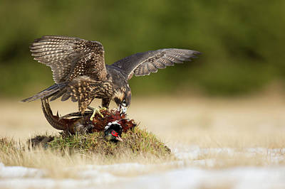 Falcons Wall Art - Photograph - Peregrine Falcon by Milan Zygmunt