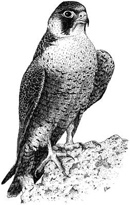 Photograph - Peregrine Falcon by Roger Hall