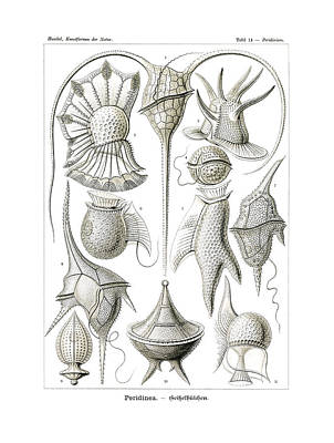 Art In Nature Drawing - Peridinea by Ernst Haeckel