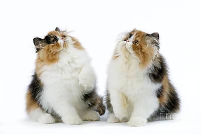 Parti Photograph - Persian Kittens by Jean-Michel Labat