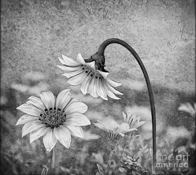 Digital Art - Peruvian Daisy Garden by Shirley Mangini